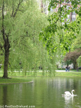 Boston's weather over the past week had been great for a duck - or a swan, as the case may be.
